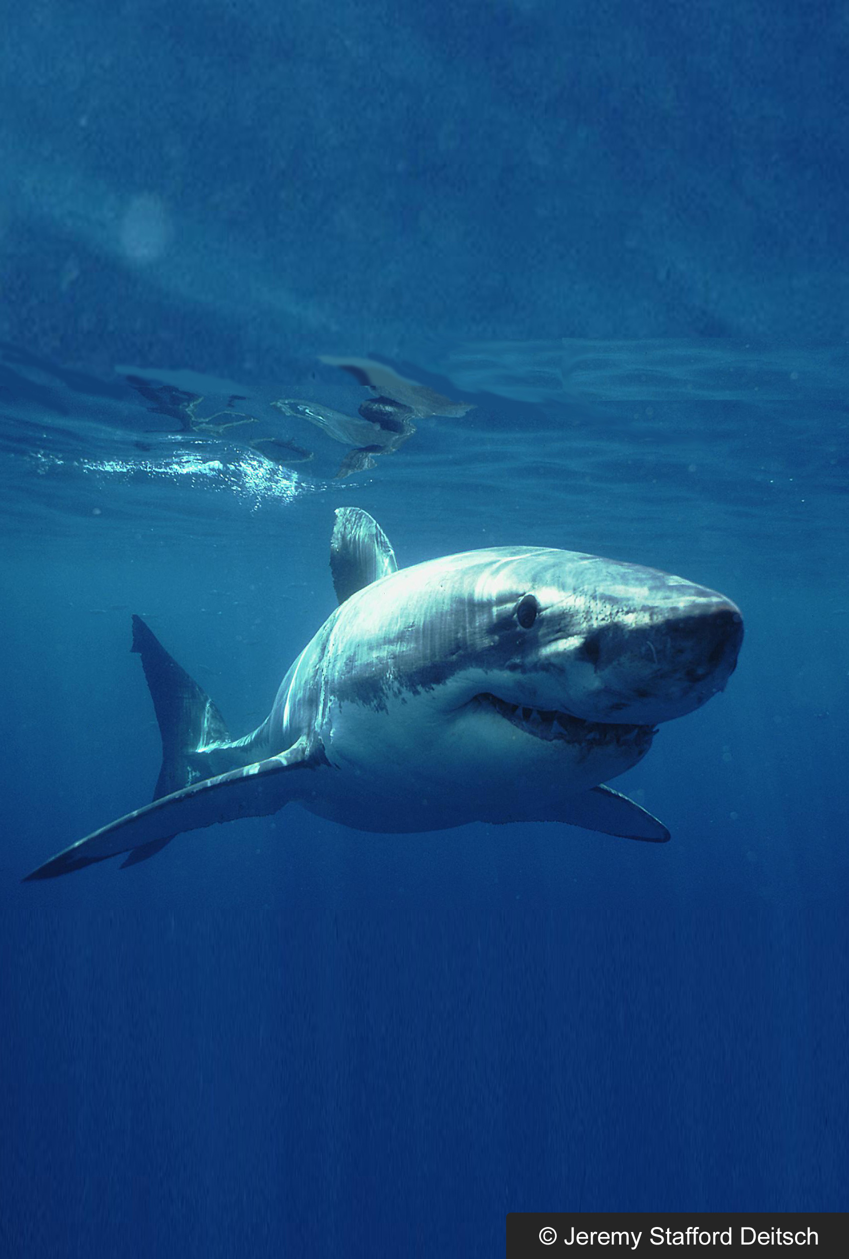 Opinions on cartilage for Cartilaginous fish examples