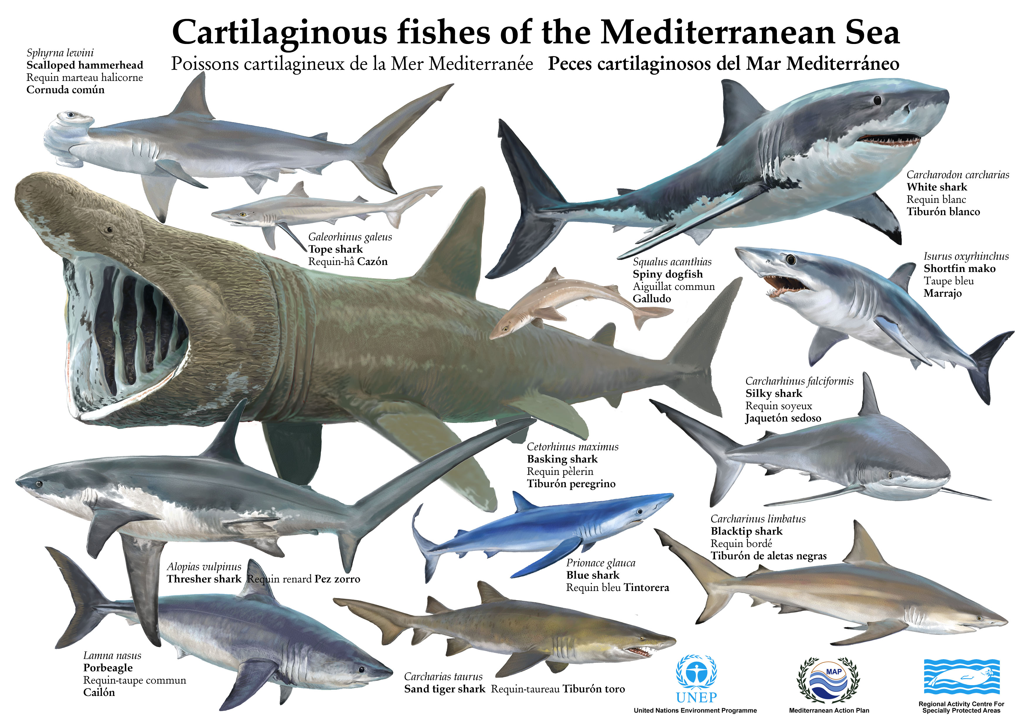 List of fish of the mediterranean sea for Are sharks fish