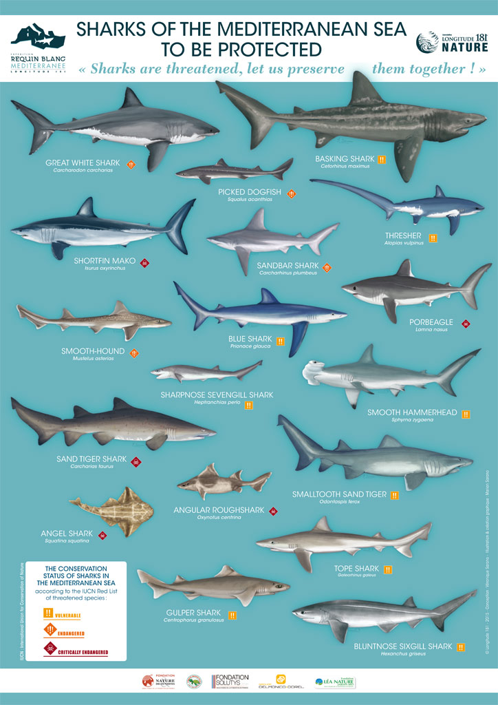 05 16 Sharks Of The Mediterranean Sea To Be Protected Regional Activity Centre For Specially Protected Areas